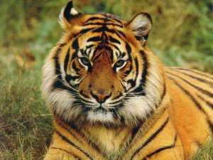 Macan Bengal