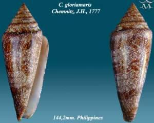 semestafakta-Conus Gloriamaaris