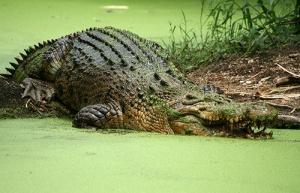 semestafakta-Crocodylus porosus