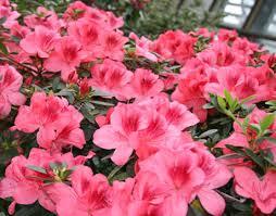 semestafakta-rododendron-13