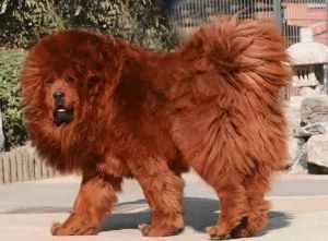 semestafakta-Tibetan Mastiff