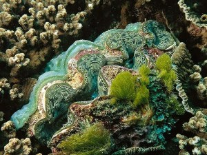 semestafakta-Tridacna gigas