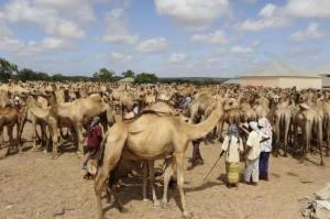File photo of Somali traders and their camels waiting at the open air export market, on the outskirts of Somalia's capital Mogadishu