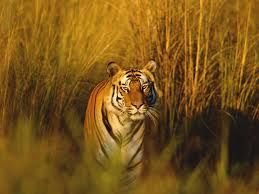 semestafakta.bengal tiger