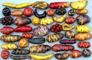 semestafakta-peruvian potato
