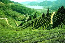 semestafakta.sylhet tea garden