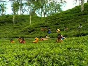 semestafakta.sylhet tea garden2