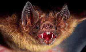semestafakta-vampire bats