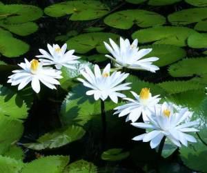 semestafakta.water lili