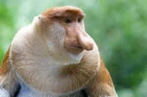 semestafakta-Proboscis monkey