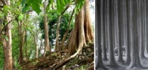 semestafakta-Teak trees