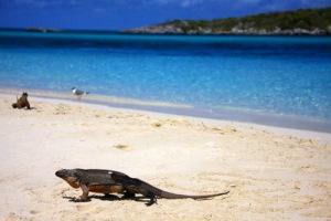 semestafakta-bahamian iguana