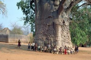 semestafakta-baobab
