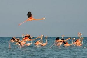 semestafakta-flaminggo