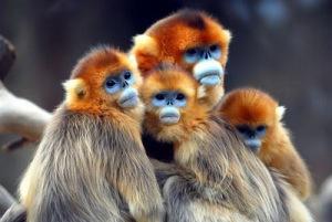 semestafakta-snub-nosed monkey