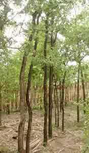 semestafakta-Thanakha tree2