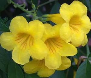 semestafakta-yellow elder