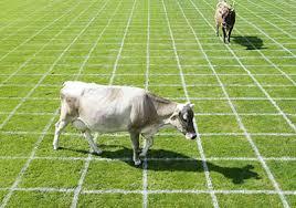 semestafakta-Cow Bingo