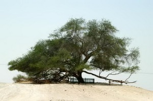 semestafakta-famous Mesquite tree2