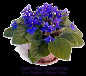 semestafakta-African Violets