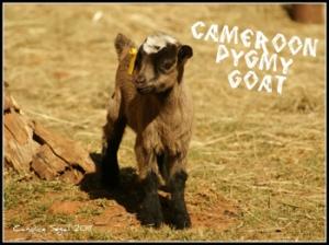 semestafakta-Cameroon's pygmy goats