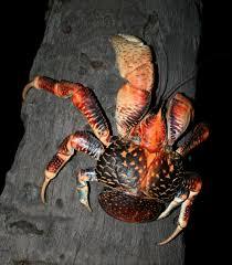 semestafakta-coconut crab