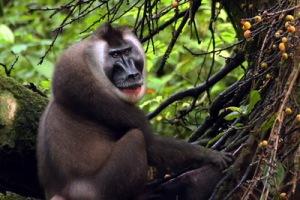 semestafakta-Drill monkey