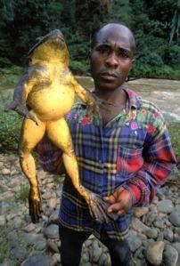 semestafakta-Goliath Frog