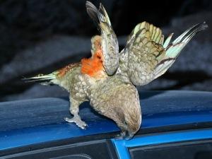 semestafakta-kea bird2