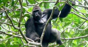 semestafakta-lowland Gorilla