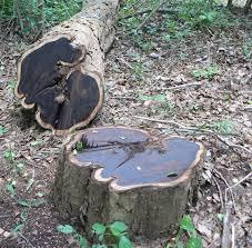 semestafakta-Mpingo trees