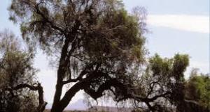 semestafakta-Mpingo trees2