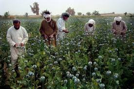 semestafakta-Opium cultivation in Afghanistan