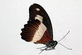 semestafakta-Papilio andronicus