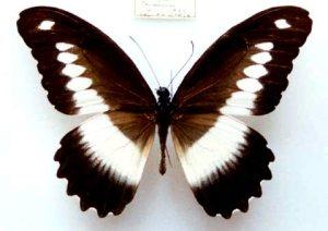 semestafakta-Papilio andronicus2