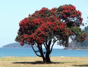 semestafakta-Pohutukawa tree