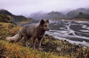 semestafakta-Arctic fox