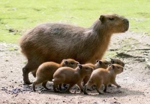 semestafakta-Capybara