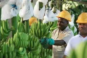 semestafakta-dominican banana