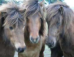 semestafakta-iceland horse