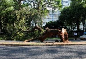 semestafakta-mbuya tree
