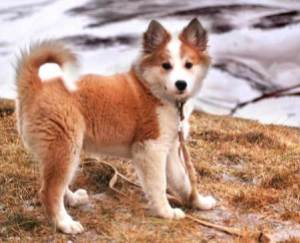semestafakta-sheepdog