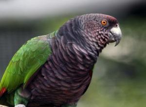 semestafakta-Sisserou Parrot