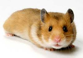 semestafakta-The Golden (or Syrian) hamster