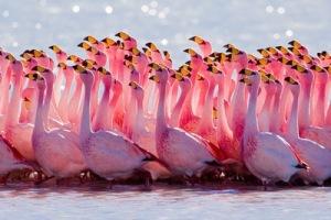 semestafakta-Bolivia's flamingos