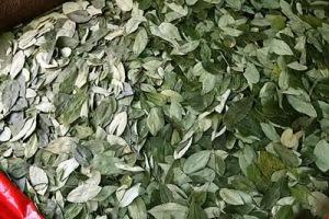 semestafakta-coca leaf2