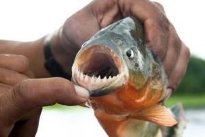 semestafakta-piranha