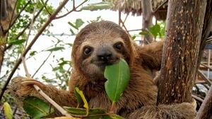 semestafakta-Sloths
