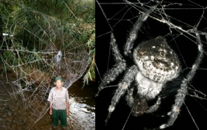 semestafakta-Darwin's Bark Spiders