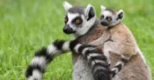 semestafakta-lemur